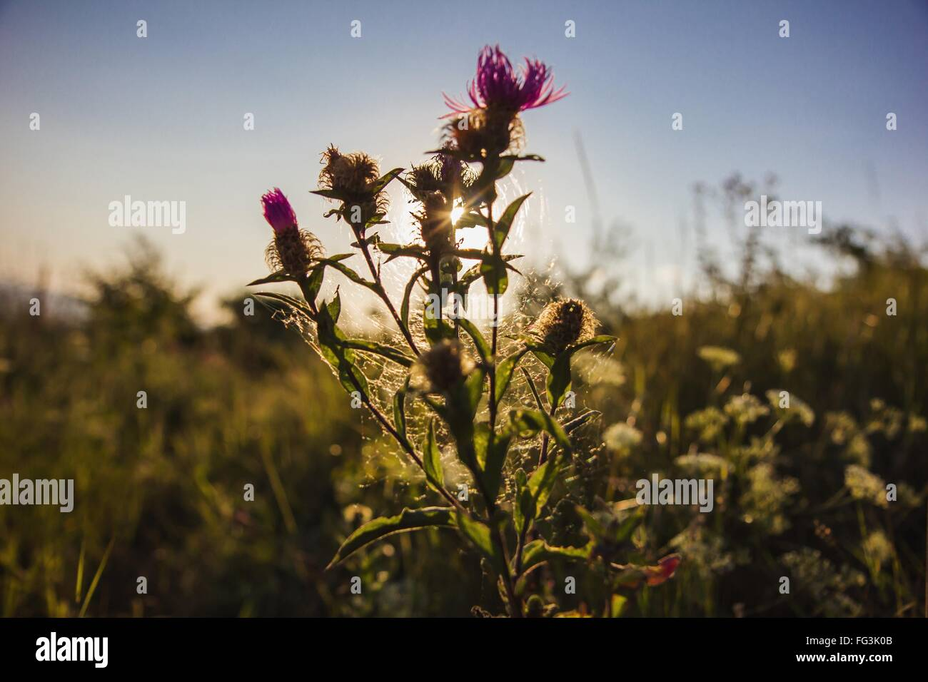 Close-Up Of Purple Flower With Spider Web In Field Against Sky - Stock Image