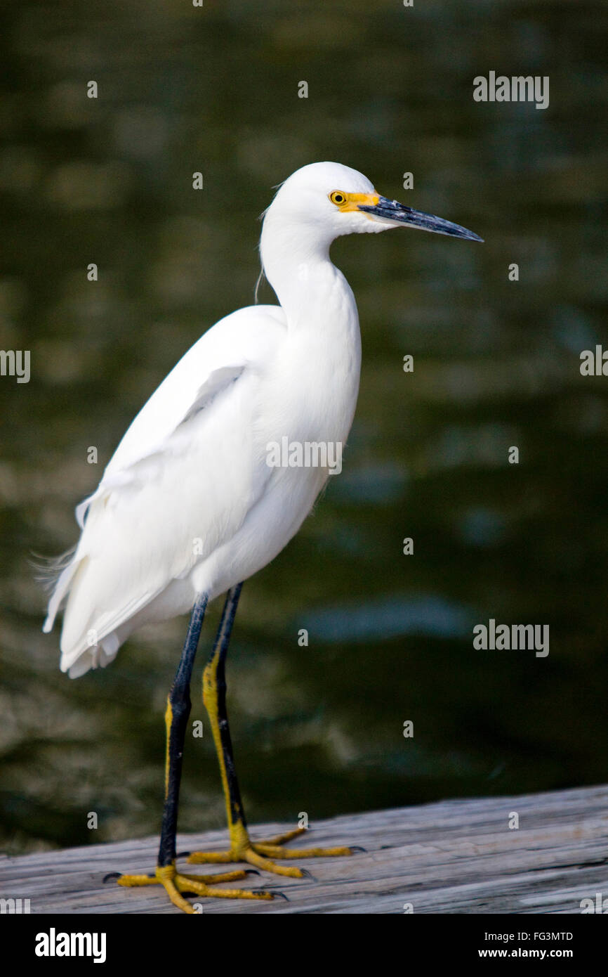 Snowy egret in Florida, USA. - Stock Image