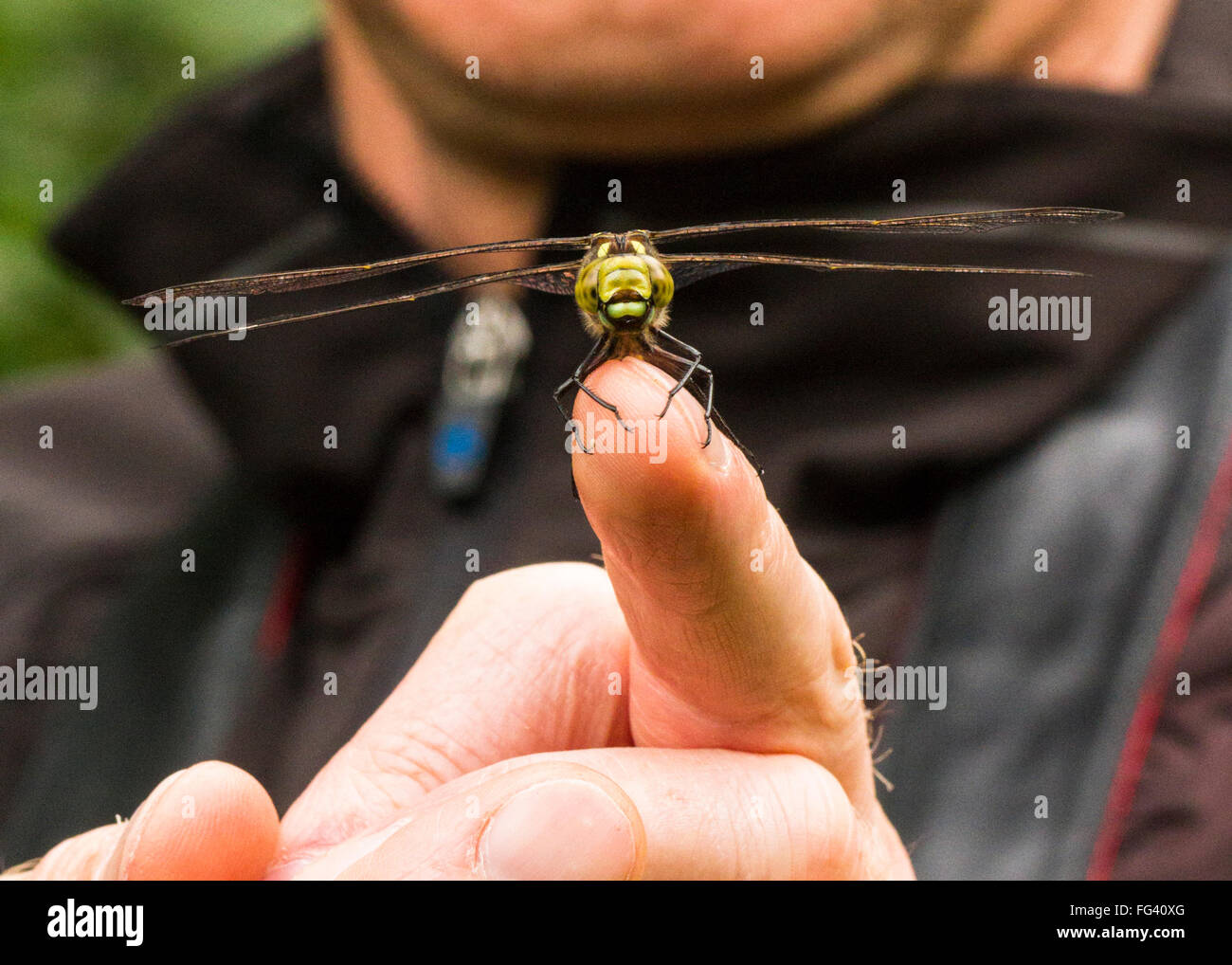 Human and wildlife interaction, a hawker dragonfly sat on a man's, finger. Brief visit, fleeting moment, living - Stock Image