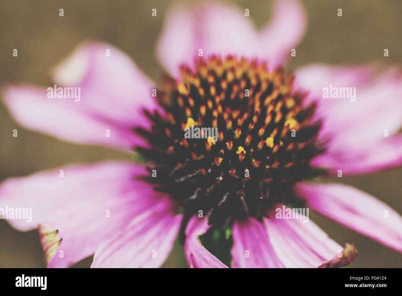Close-Up Of Eastern Purple Coneflower Blooming On Field - Stock Image