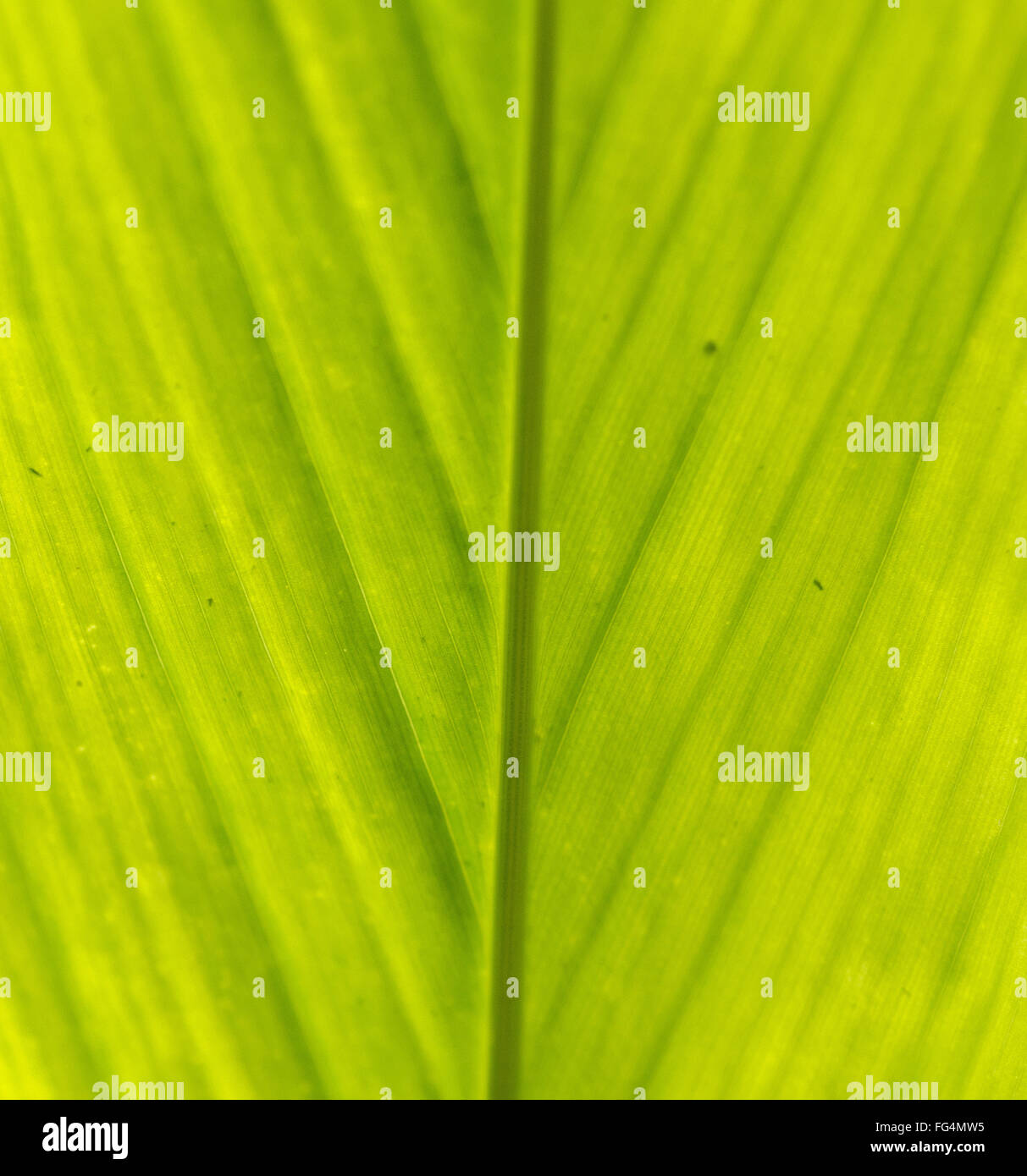 Green veins of the leaf backlit by the sun showing classif fishbone analysis in management - Stock Image