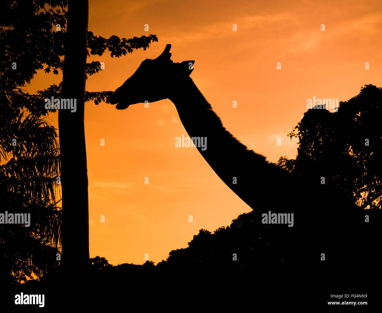 Silhouette Giraffe In Forest Against Orange Sky During Sunset - Stock Image