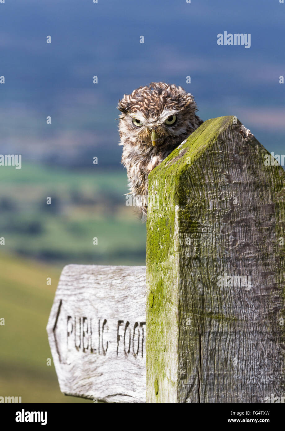 Little owl (Athene noctua) sat on a 'public footpath' signpost looking angry an scruffy, countryside background. Stock Photo