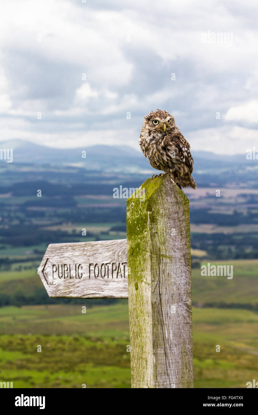 Little owl perched on top of a Public Footpath signpost (captive bred) with hills (Cumbrian Lake District) in background. - Stock Image