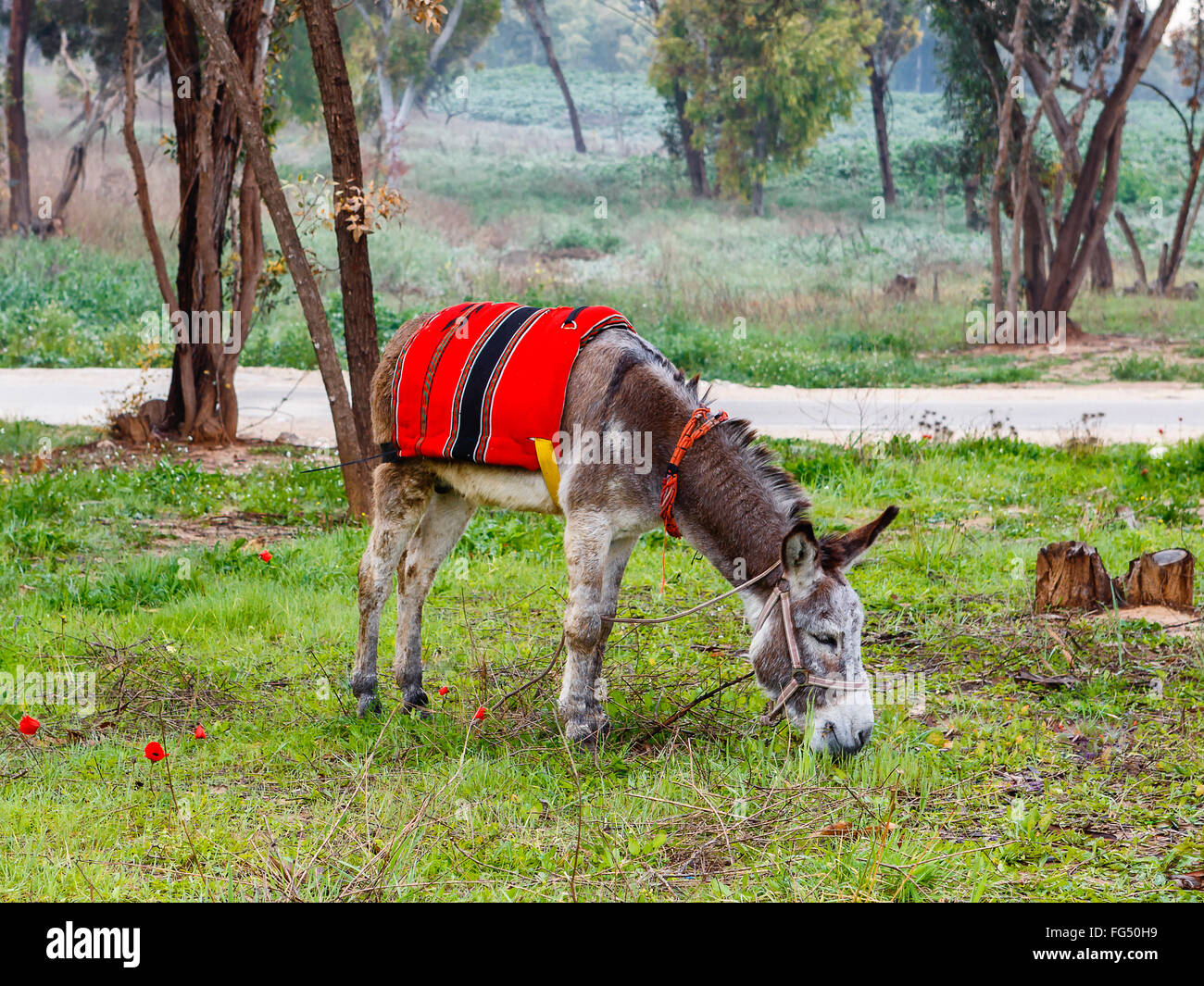 A donkey in harness and red blanket on green glade with anemones - Stock Image