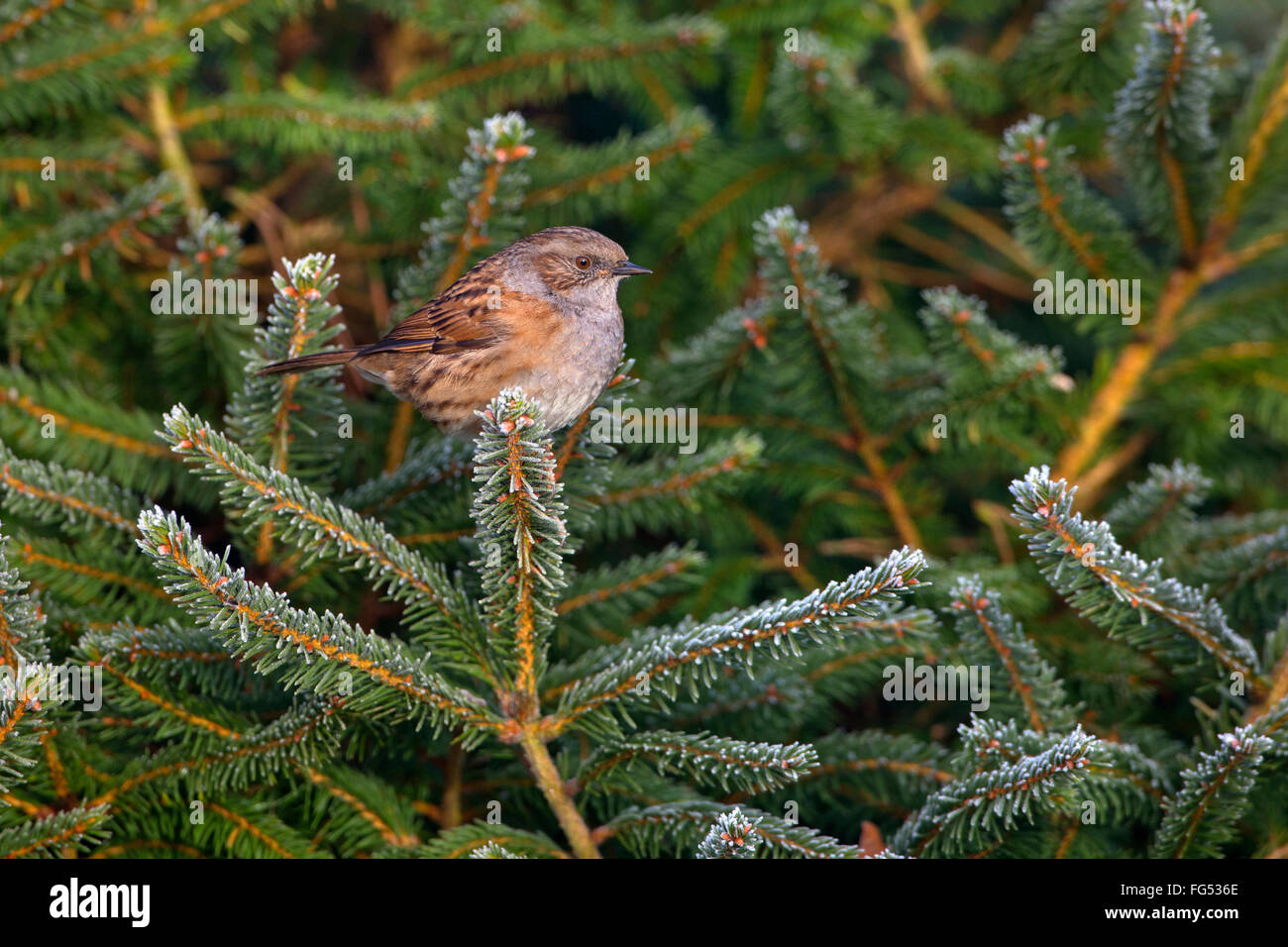 Hedge Sparrow Prunella modularis on frosted conifer in Winter - Stock Image