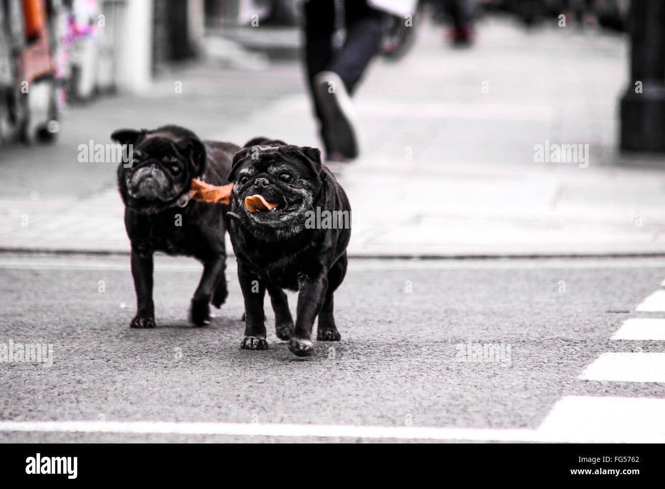 Pugs Walking On City Street - Stock Image