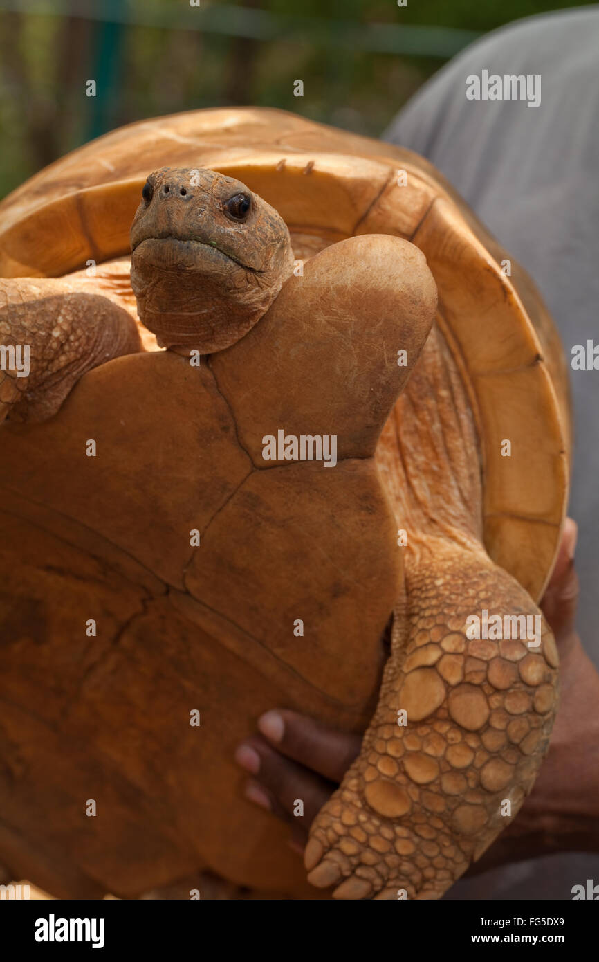 Ploughshare Tortoise (Astrochelys yniphora). Adult male, hand held, showing extended gular on fore front of plastron. - Stock Image