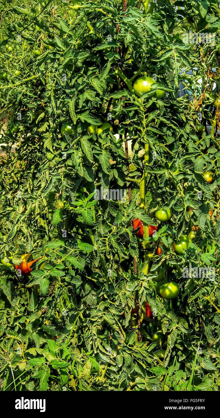 Tomatoes Growing On Farm - Stock Image