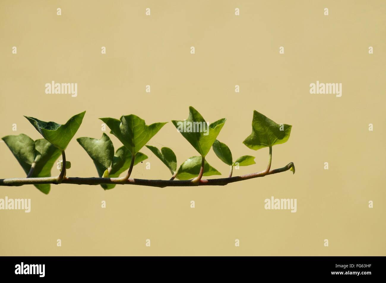 Leaves On Twig - Stock Image