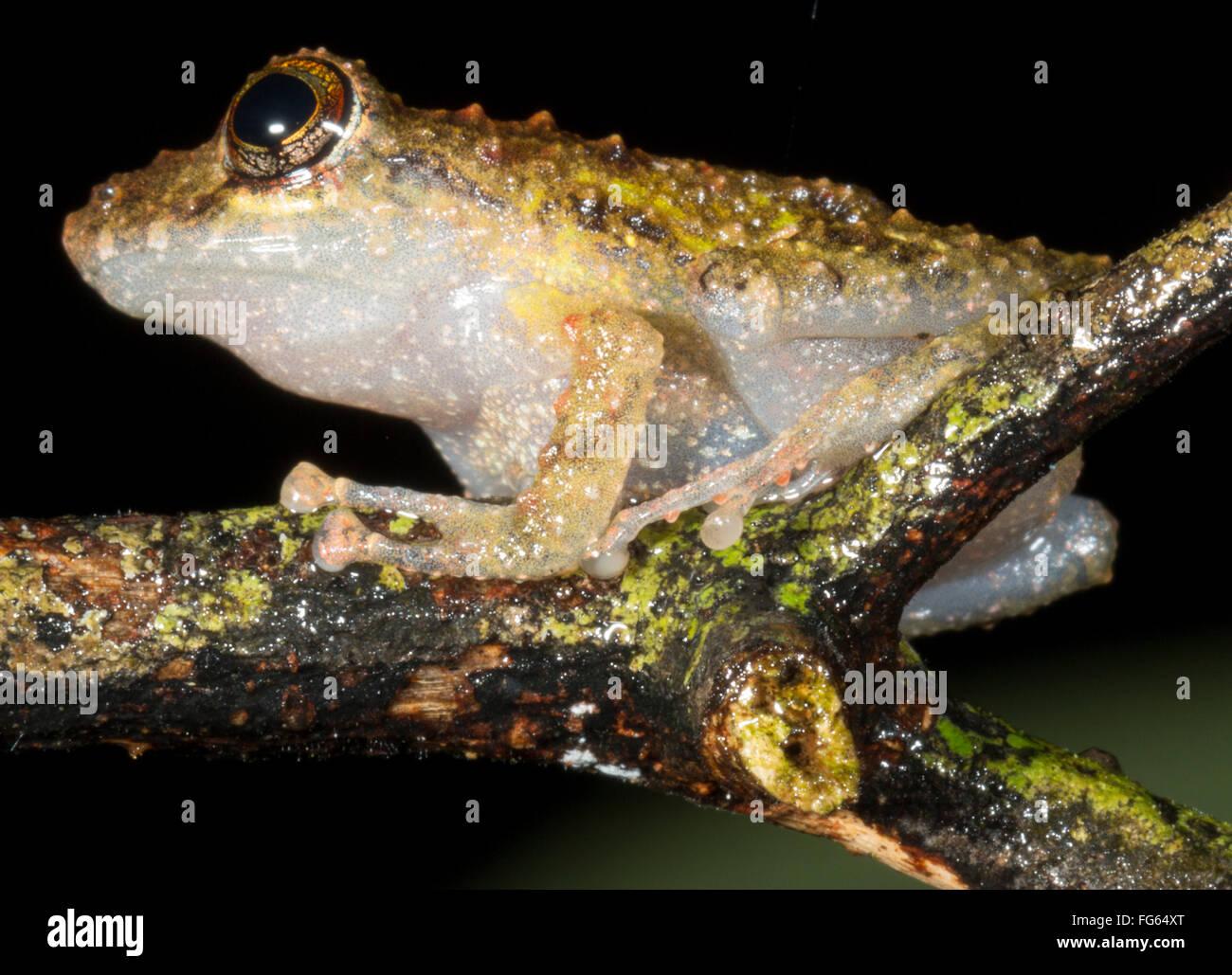 A warty Diadem Rain Frog (Pristimantis diadematus) in rainforest, Pastaza province, Ecuador - Stock Image
