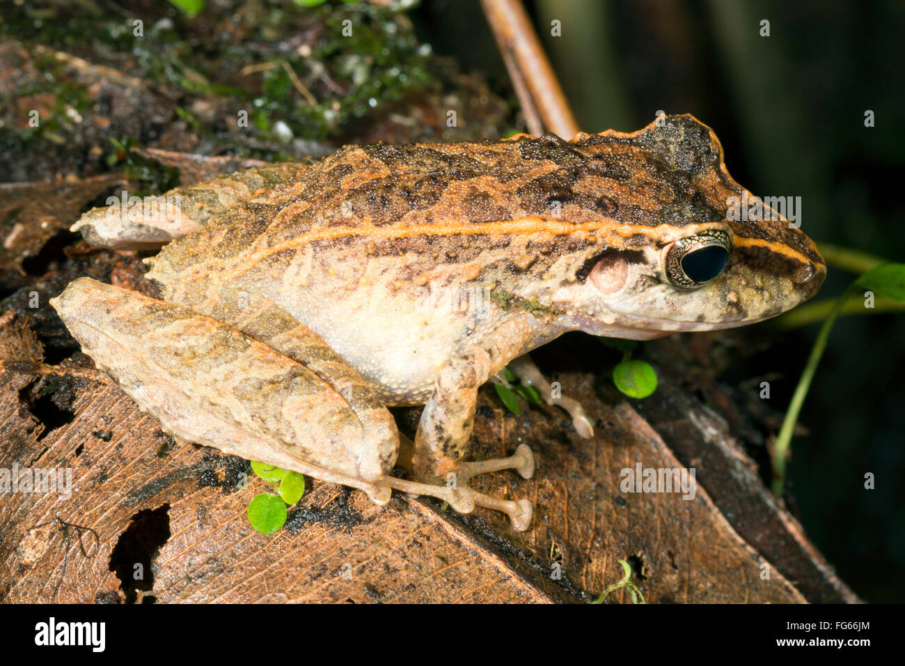 Metallic Robber Frog (Pristimantis lanthanites) in the rainforest understory in Pastaza province, Ecuador - Stock Image