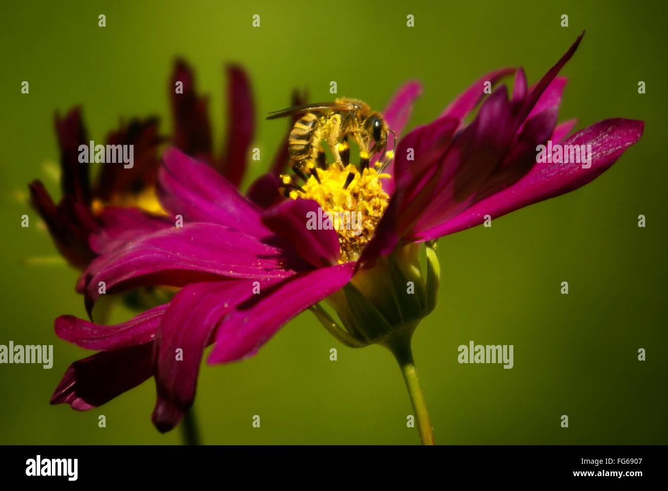 Close-Up Of Bee Pollinating On Fresh Magenta Flower In Garden - Stock Image
