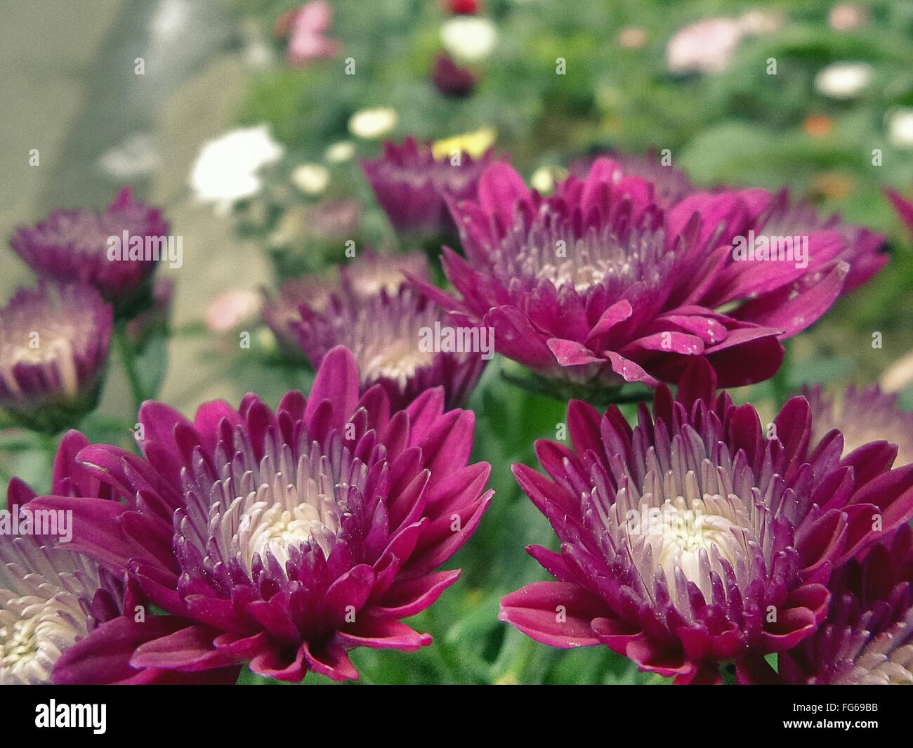 Close-Up Of Fresh Magenta Dahlia Flowers Blooming In Garden - Stock Image