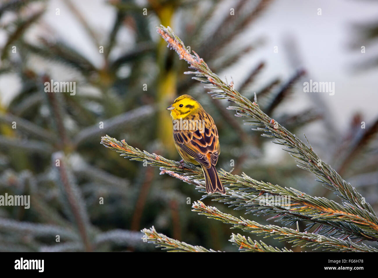 Yellowhammer Emberiza citinella perched on conifer on a frosty Winter morning - Stock Image