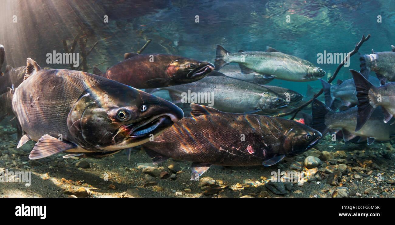 Coho Salmon Alaska Sto...
