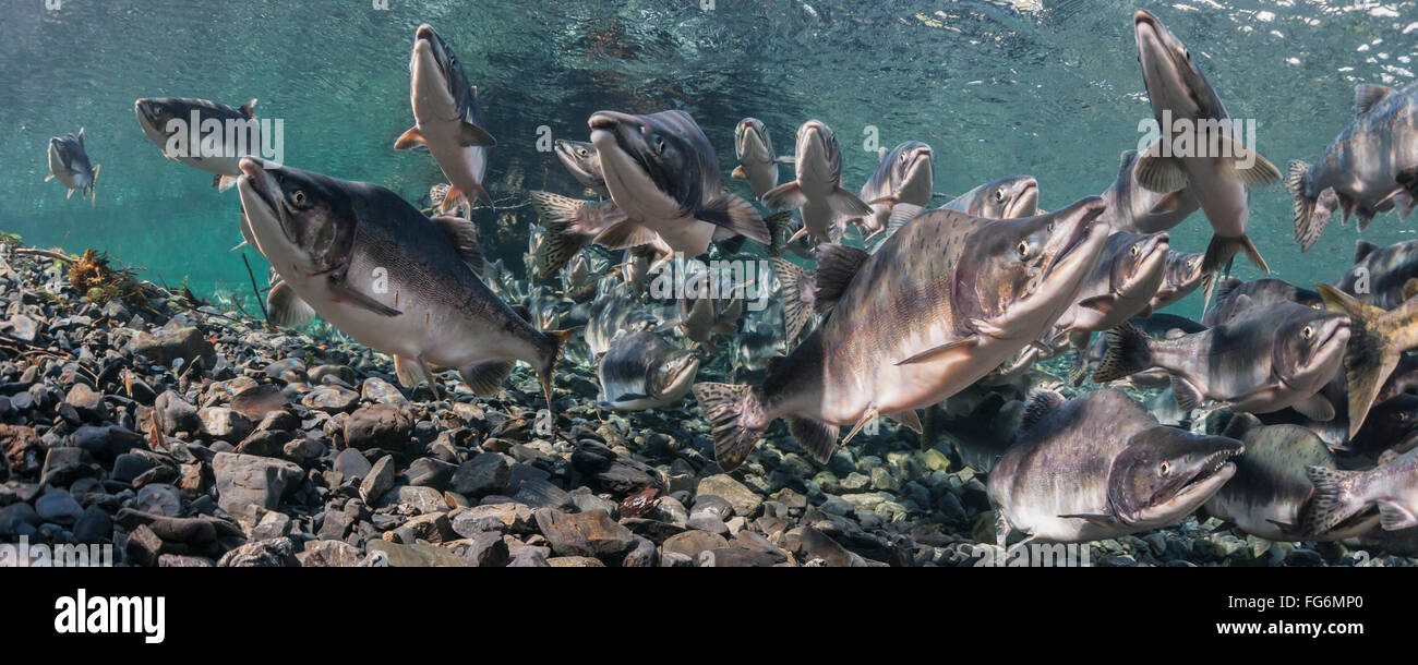 Pink Salmon (Oncorhynchus gorbuscha) summer spawning migration in a tributary of Prince William Sound, Alaska. - Stock Image