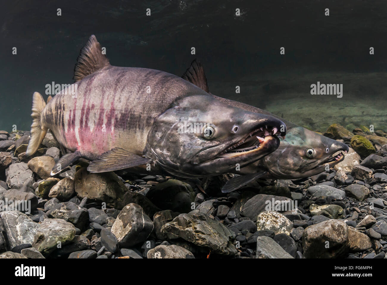 Mature male Chum Salmon (Oncorhynchus keta) size each other while competing over a female in an AKn stream during - Stock Image