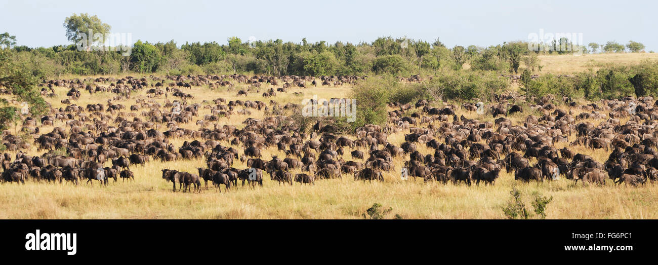 Hundreds of wildebeest (Connochaetes) graze on a wooded hillside as part of the great migration across the Mara - Stock Image
