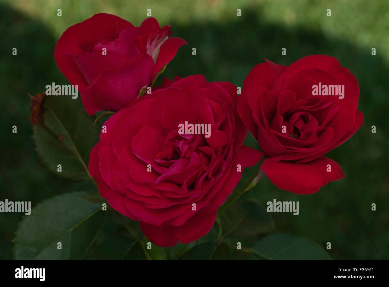 Rose , Rosa CRIMSON SKY - Stock Image