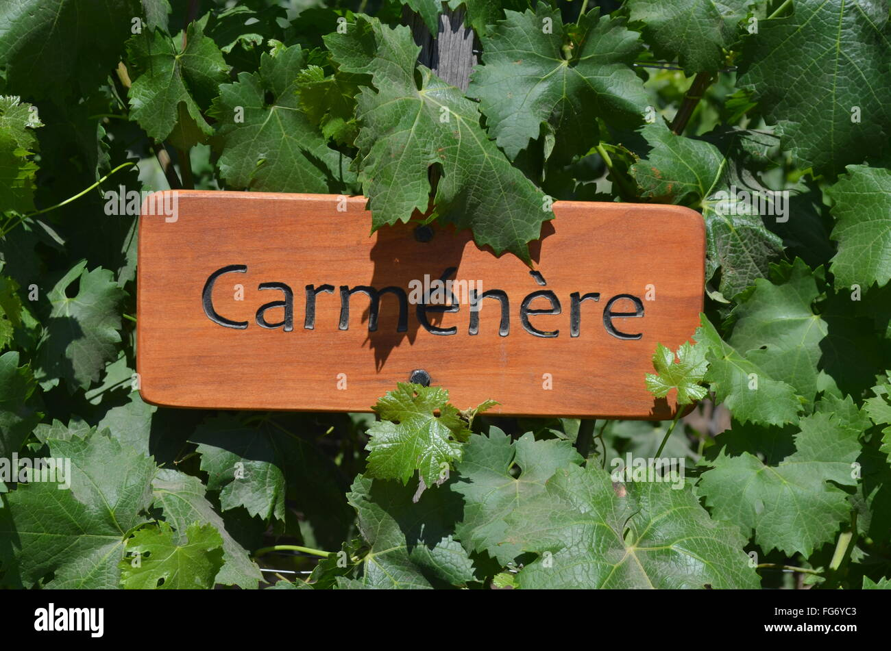 Vineyards at the Concha y Toro winery, near Santiago, Chile - Stock Image