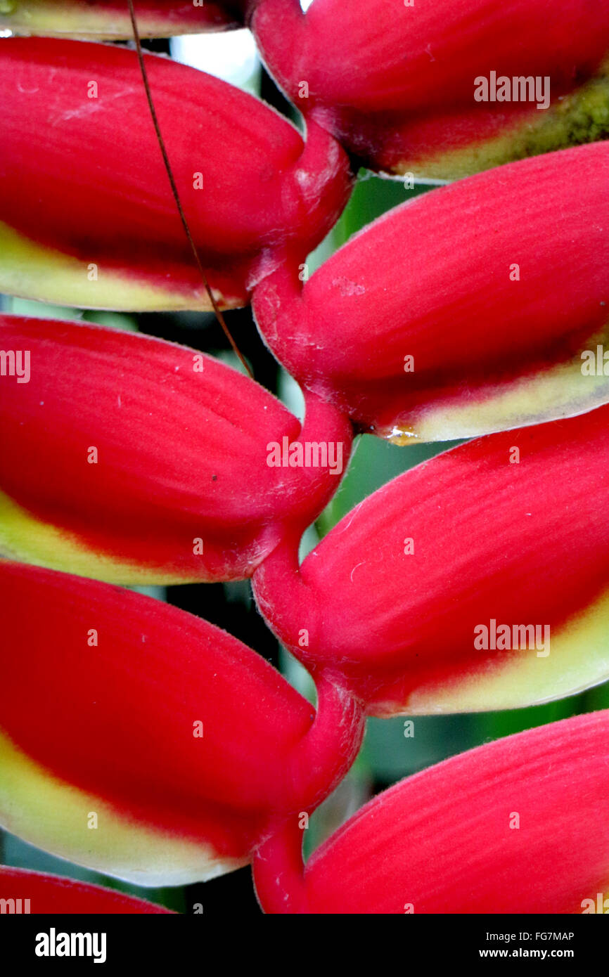 Full Frame Shot Of Heliconia Blooming Outdoors - Stock Image
