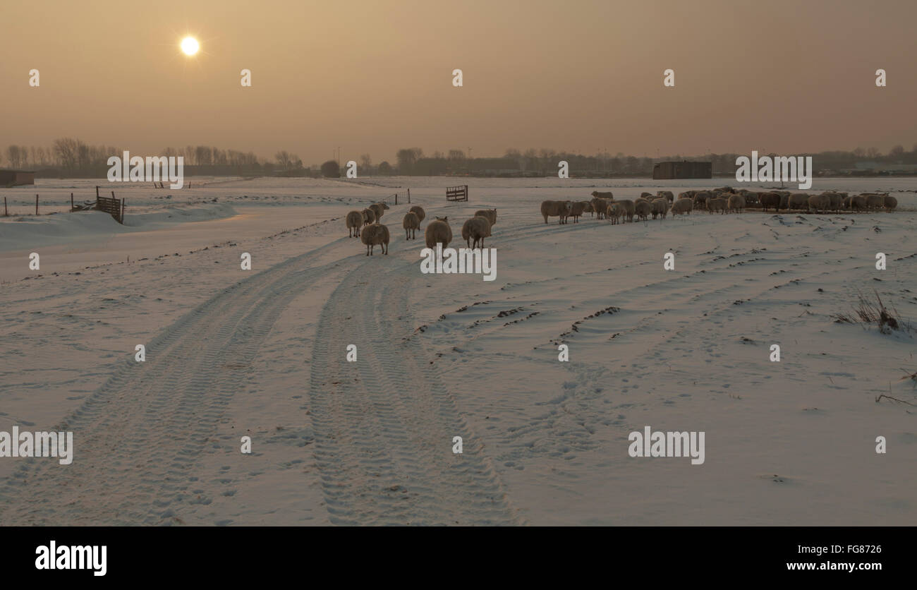 A flock of sheep in a snow-covered wintry landscape at sunset, Katwijk aan den Rijn, South Holland, The Netherlands. Stock Photo