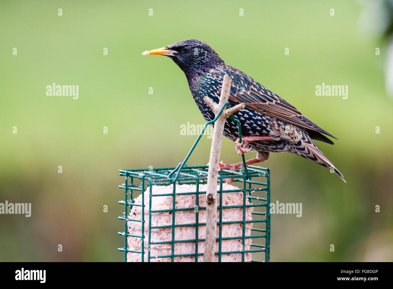Starling (Sturnus vulgaris) standing on a suet block in an English garden, East Sussex, England, UK - Stock Image