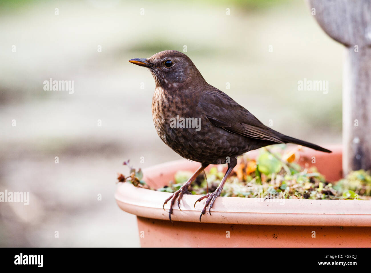 Female Blackbird (Turdus merula) standing on a flower pot in an English garden, East Sussex, England, UK - Stock Image