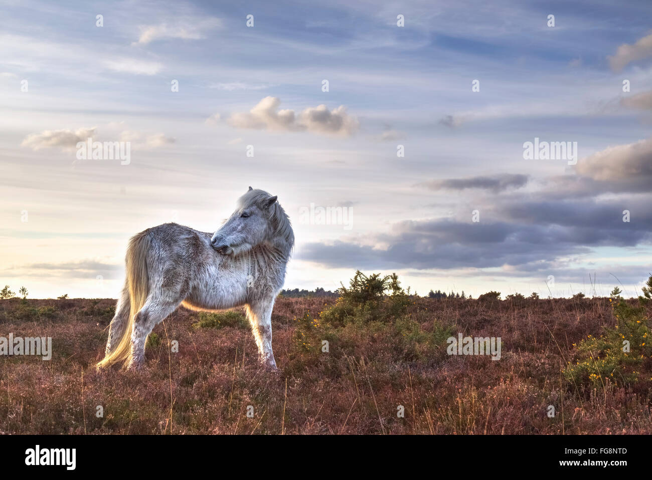 pony in the New Forest at Hatchet Pond, Beaulieu, Hampshire, England, UK - Stock Image