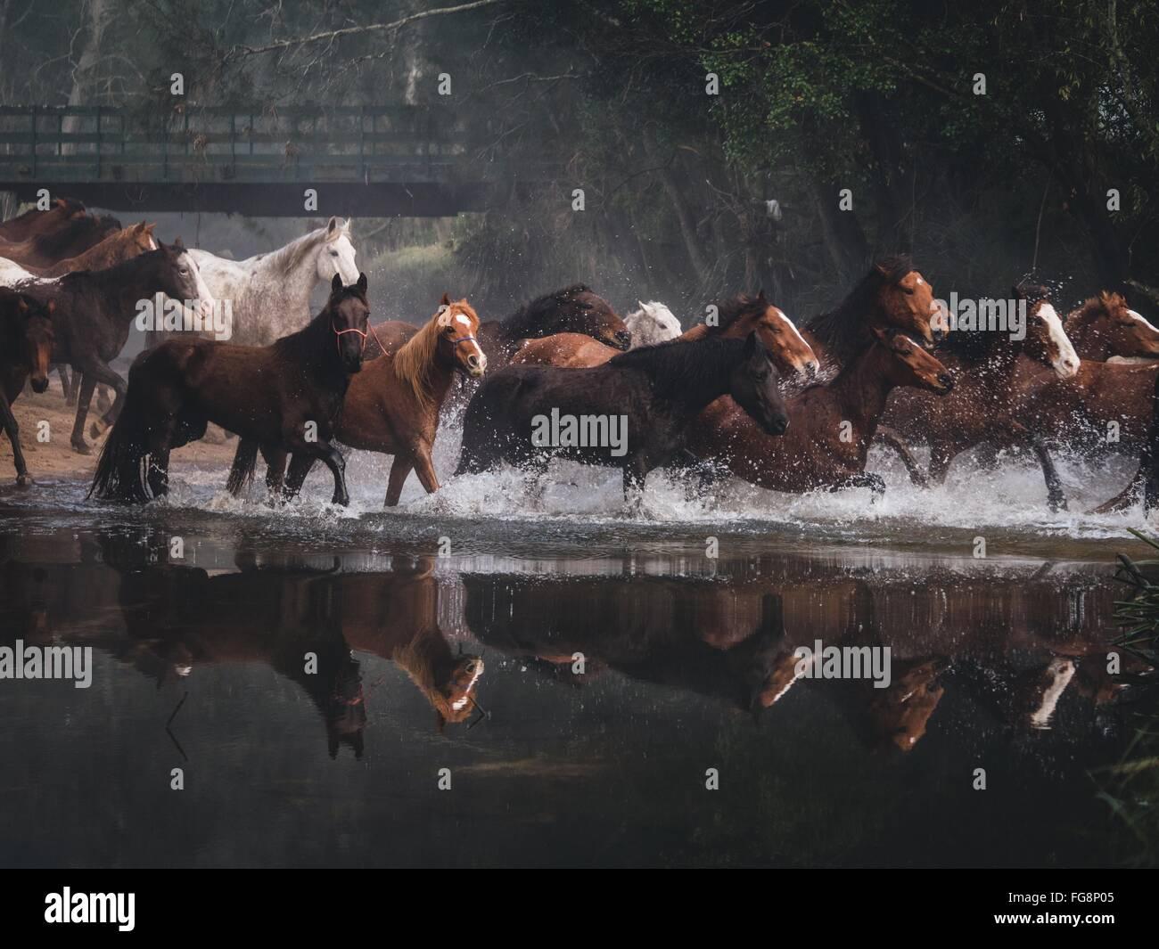 Horses Running On Lake - Stock Image