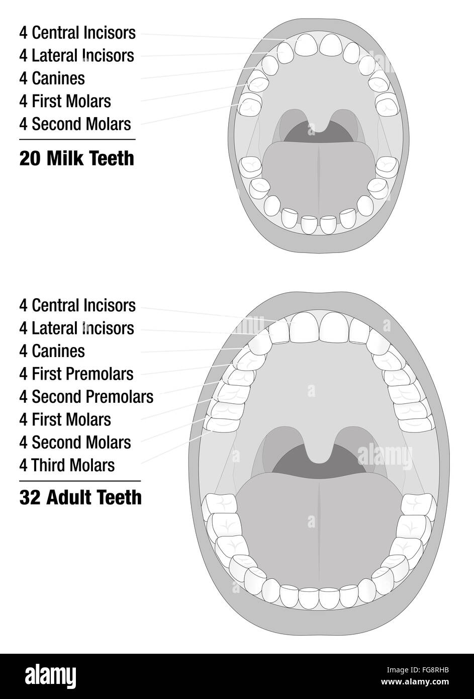 Milk teeth adult teeth comparison of temporary teeth of a child milk teeth adult teeth comparison of temporary teeth of a child and permanent teeth of an adult natural dentition ccuart Gallery