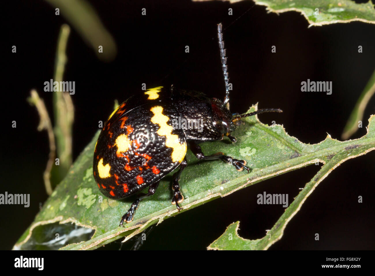 Pleasing Fungus Beetle on a leaf in the rainforest, Pastaza province, Ecuador - Stock Image