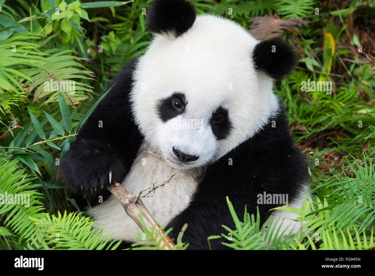 Two years aged young Giant Panda , China Conservation and Research Centre for the Giant Pandas, Chengdu, Sichuan, Stock Photo