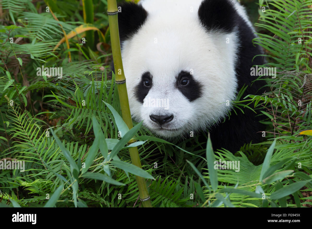 Two years aged young Giant Panda , China Conservation and Research Centre for the Giant Pandas, Chengdu, Sichuan, - Stock Image