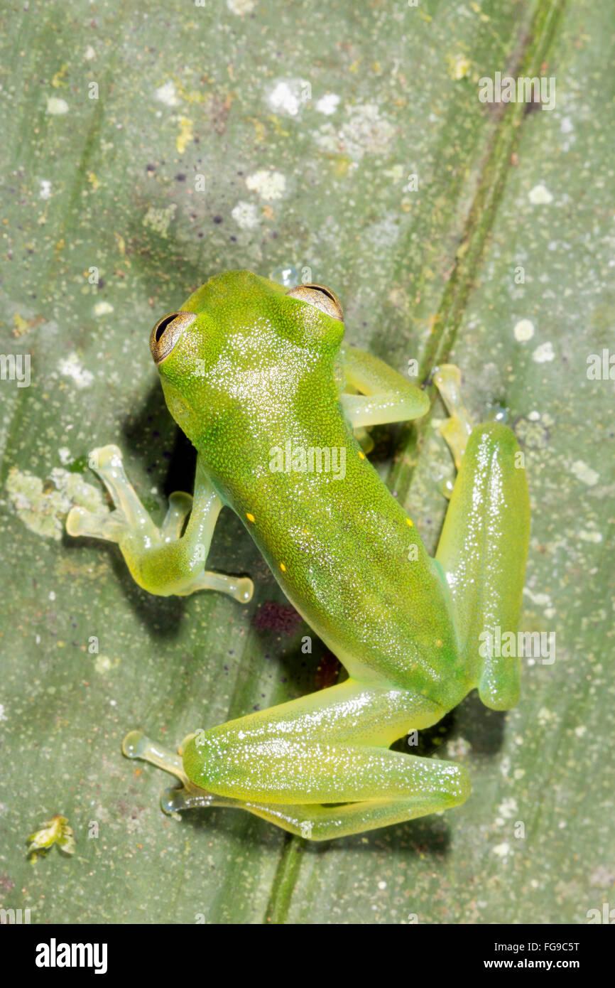 Santa Cecilia Cochran Frog (Teratohyla midas)  on a green leaf in Pastaza Province, Ecuador - Stock Image
