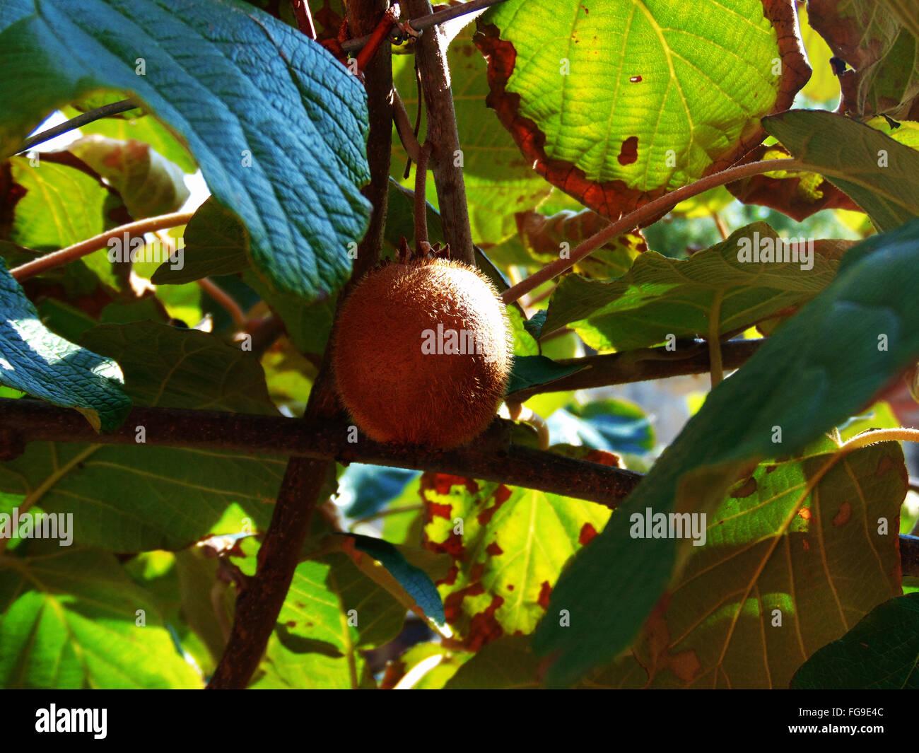 Low Angle View Of Kiwi Growing On Plant - Stock Image