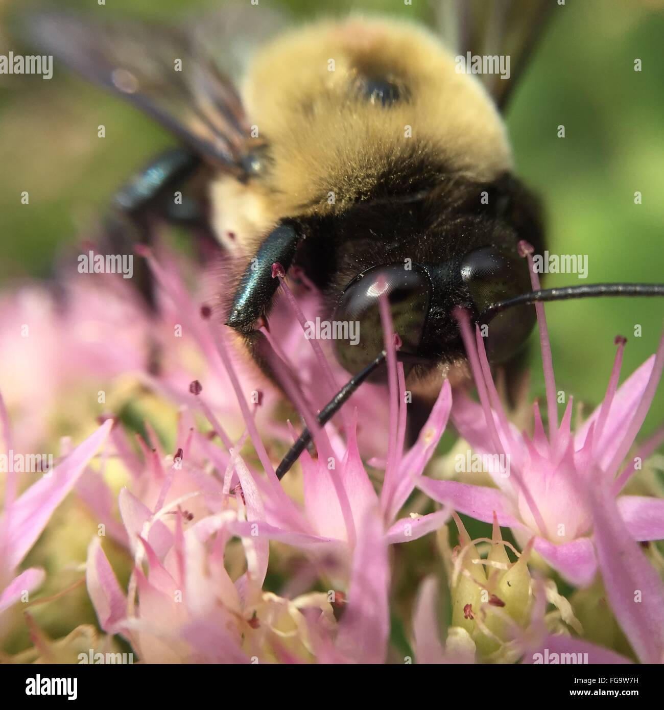 Close-Up Of Bee Pollinating On Flower - Stock Image