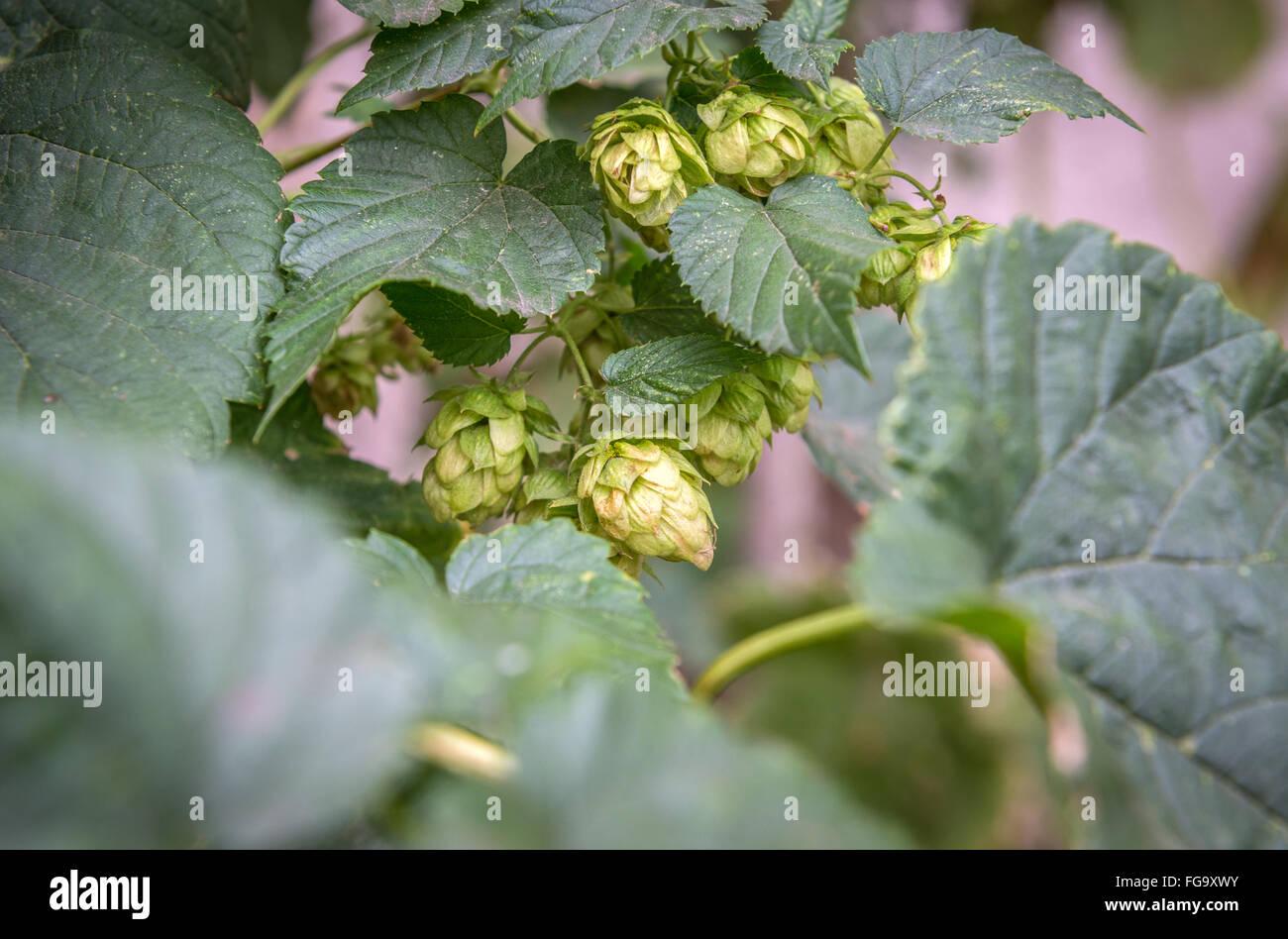 green hop plant in Pilsen city in Czech Republic - Stock Image