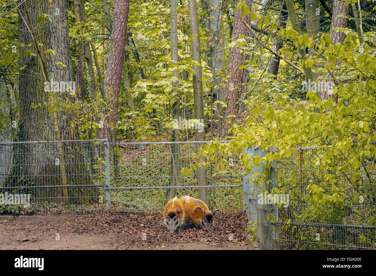 Red River Hogs Against Trees In Zoo - Stock Image
