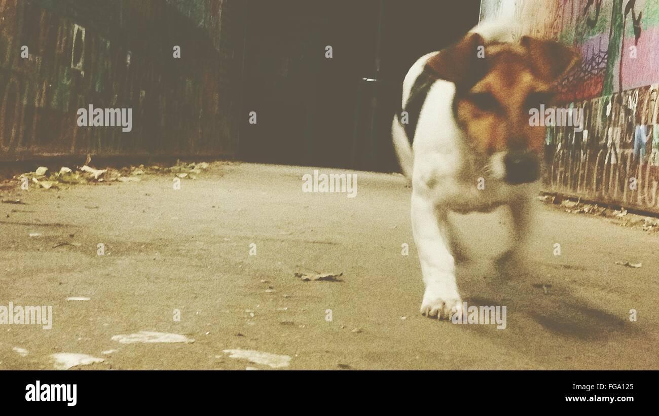 Dog Walking On Street - Stock Image