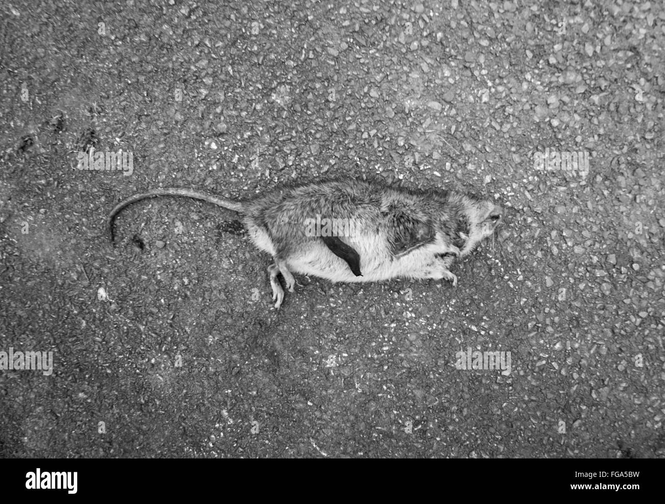 High Angle View Of Dead Rat On Street - Stock Image