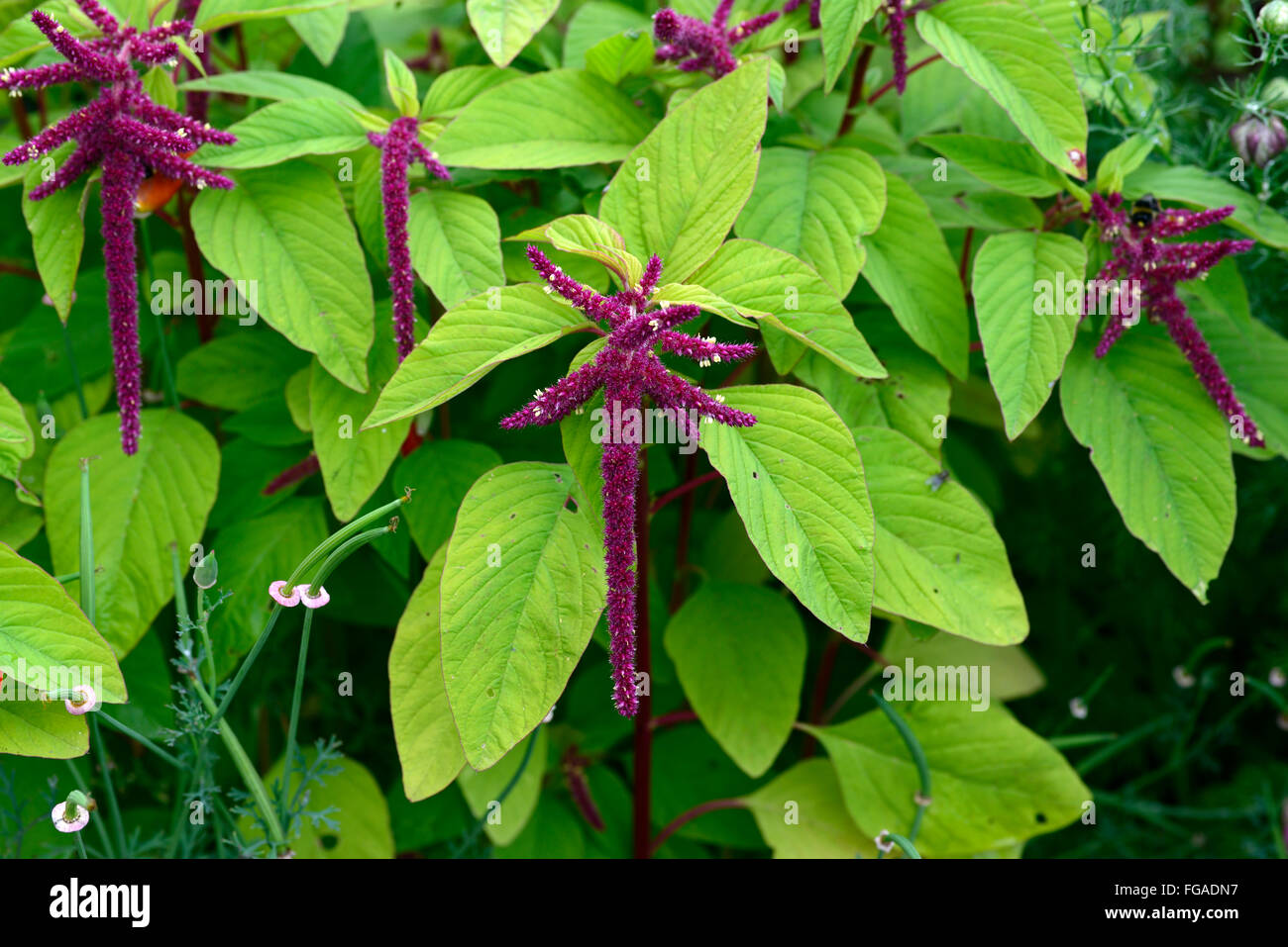 amaranthus caudatus red octopus flowering love lies bleeding flower bloom blossom red color colour inflorescence - Stock Image
