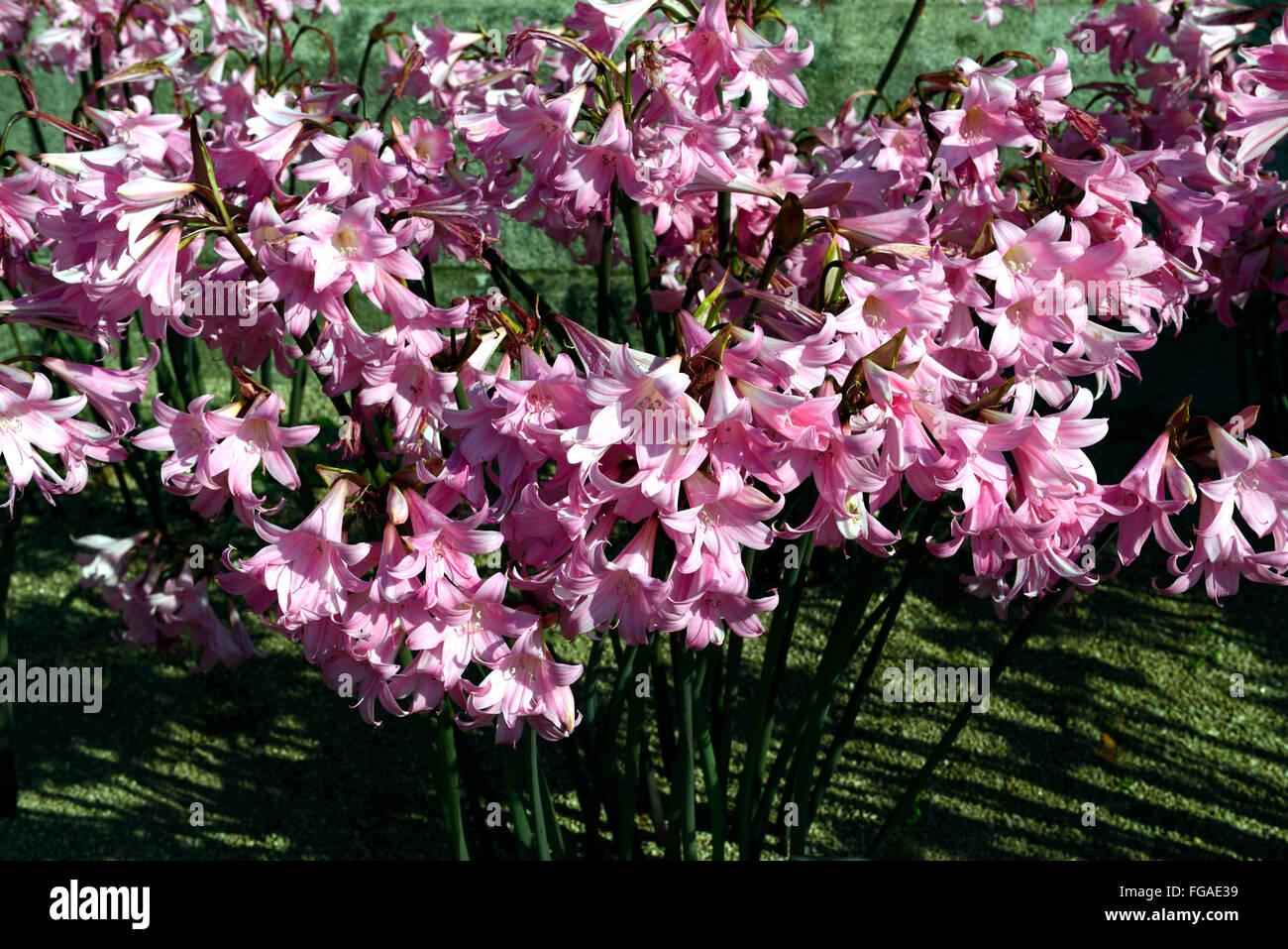 Fabelhaft Amaryllis Belladonna Stock Photos & Amaryllis Belladonna Stock &OP_43