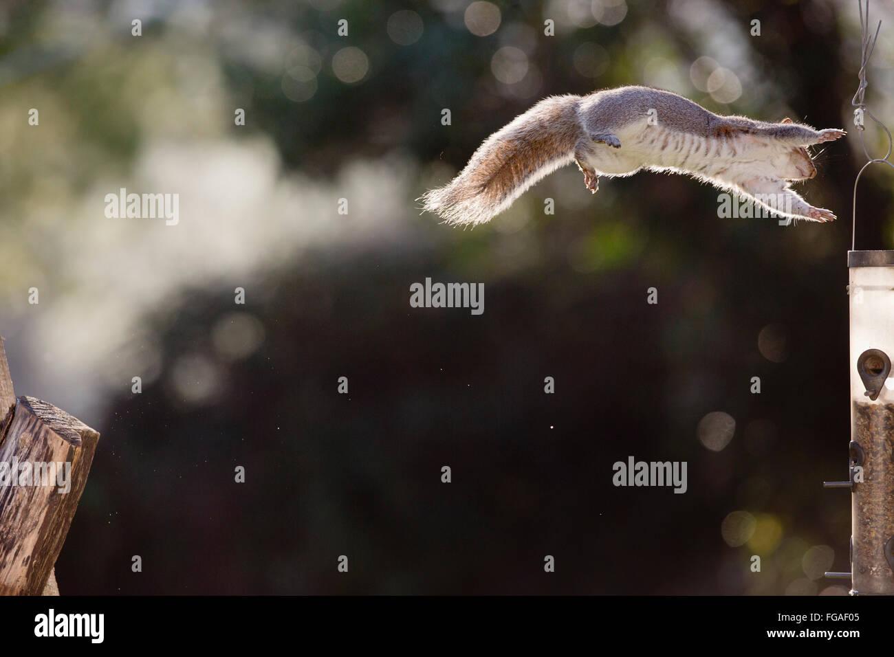Grey Squirrel; Sciurus carolinensis Single Jumping to Feeder Cornwall; UK - Stock Image