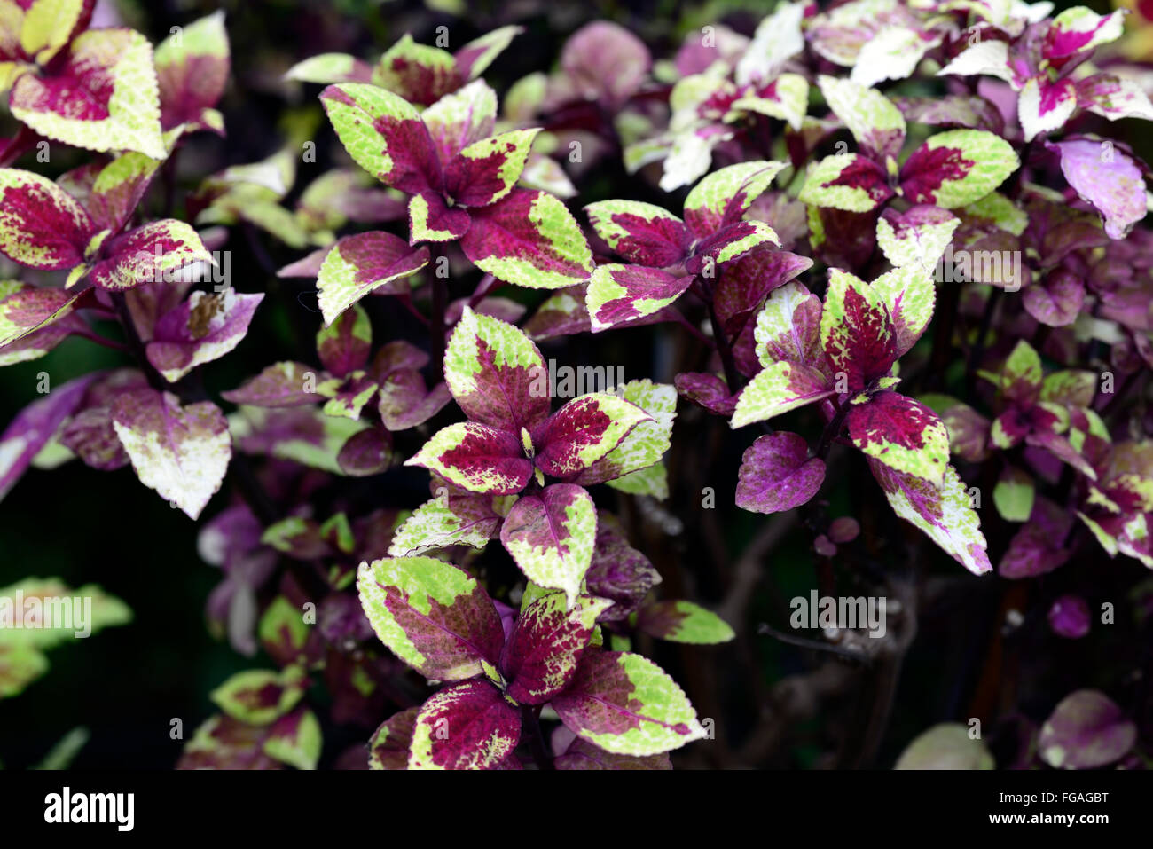 Coleus Melody yellow purple Coleus blumei Solenostemon scutellarioides ornamental plant foliage leaves variegated - Stock Image