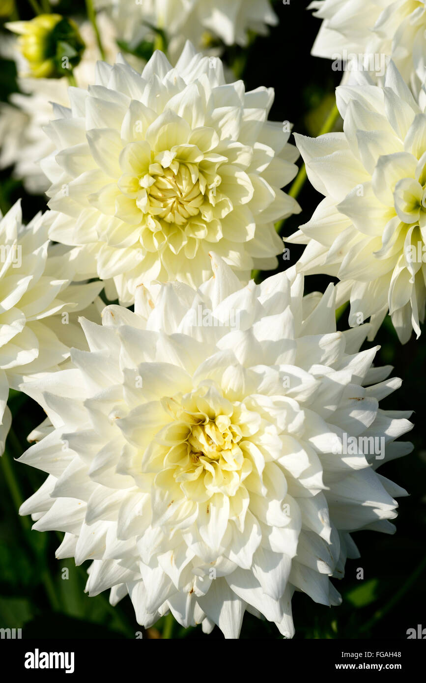 Dahlia bj beauty white medium decorative dahlias flower flowers dahlia bj beauty white medium decorative dahlias flower flowers bloom blossom perennial tuber tuberous plant rm floral izmirmasajfo