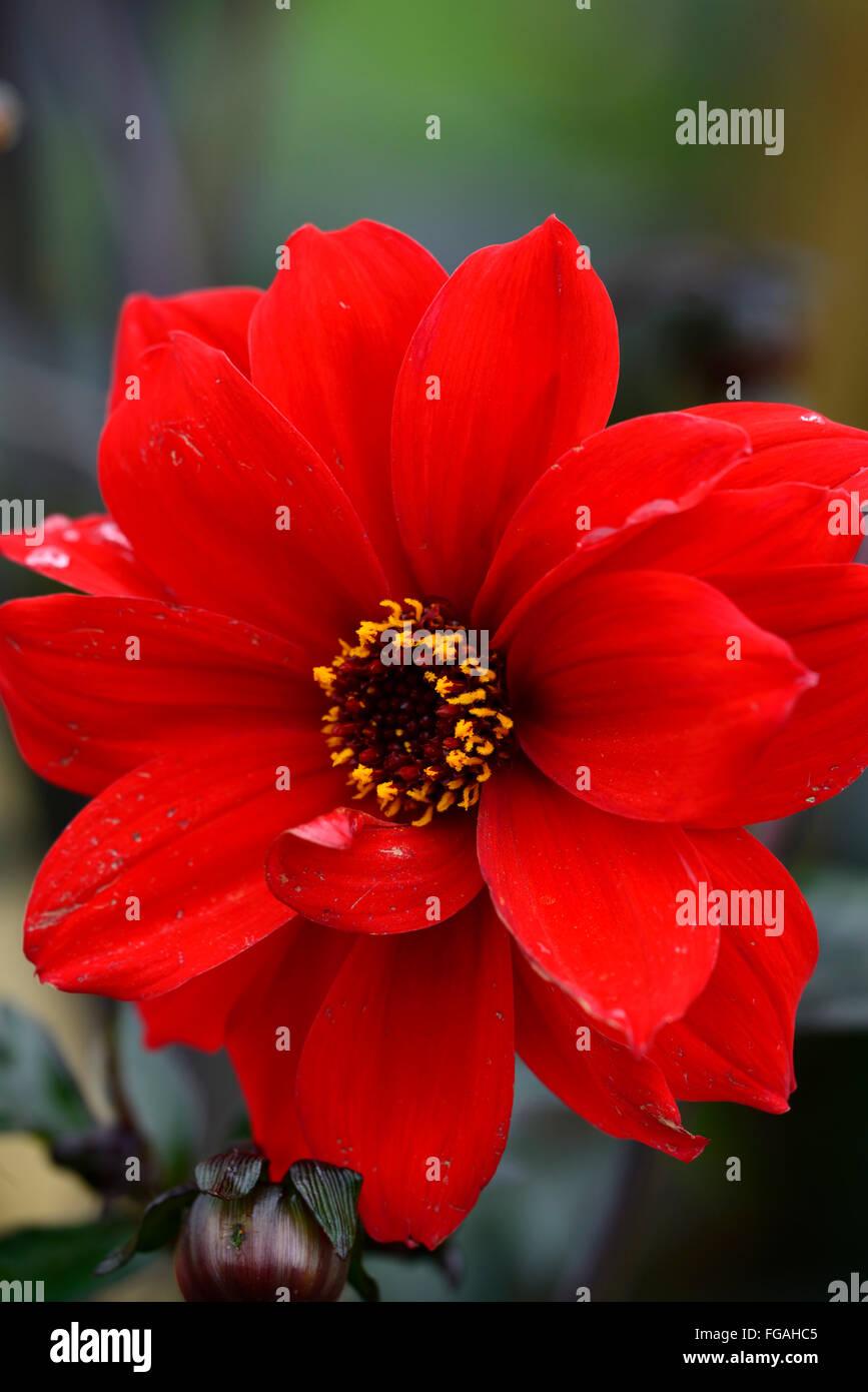 Dahlia bishop of llandaff red semi double dahlias flower flowers dahlia bishop of llandaff red semi double dahlias flower flowers bloom blossom perennial tuber tuberous plant rm floral izmirmasajfo