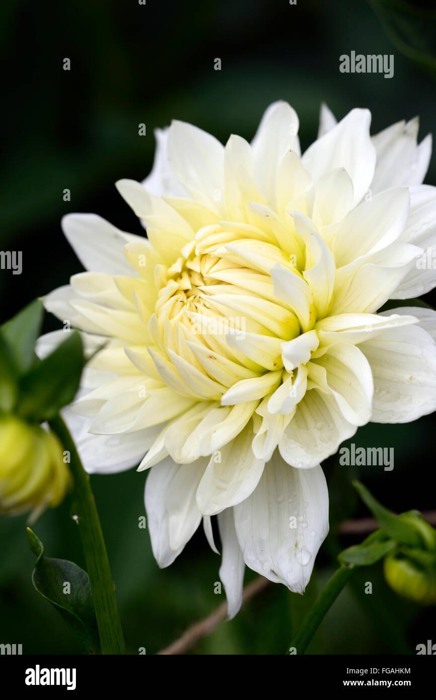 Dahlia bj beauty white medium decorative dahlias flower flowers dahlia bj beauty white medium decorative dahlias flower flowers bloom blossom perennial tuber tuberous plant rm floral izmirmasajfo