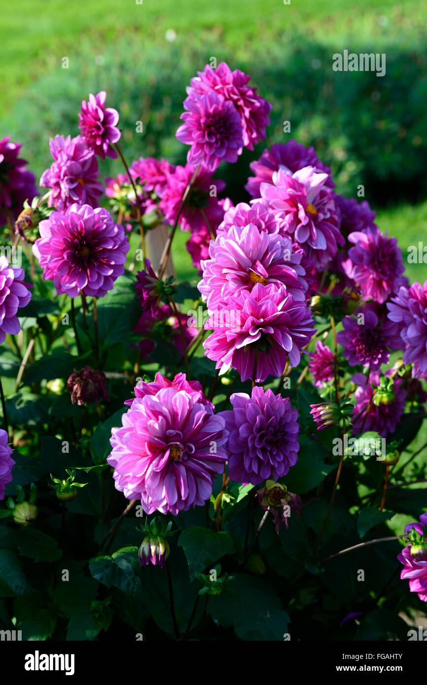 Dahlia blue bellpurple violet decorative dahlias flower flowers dahlia blue bellpurple violet decorative dahlias flower flowers bloom blossom perennial tuber tuberous plant rm floral izmirmasajfo